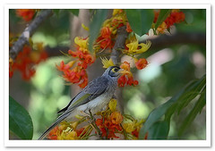 Noisy Miner-6613 (Barbara J H) Tags: bird nature wildlife australia qld sunshinecoast australianwildlife nambour noisyminer australiannativebird manorinamelanocephala birdsofaustralia castanospermumaustrale specanimal wildlifeofaustralia australiannature barbarajh blackbeantree quotapark blackbeantreeflowers