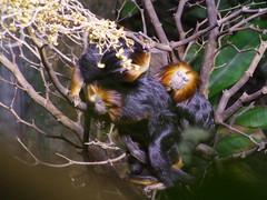 Tamarin battle in progress! (R&AH) Tags: nature animal zoo dallas tamarin facialexpression leontopithecuschrysomelas dallasaquarium goldenheadedliontamarin smallmonkey