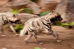 DSC06623 (NDLJ) Tags: zoo denver fighting hyena striped