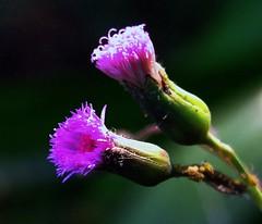 ASTERACEAE - Tassel Flower (Emilia sonchifolia)