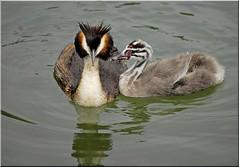 Grèbe huppé--Amour et tendresse (jd.echenard) Tags: love animal amour oiseau liebe tendresse bielersee grebs nikond200 lacdebienne grèbehuppé
