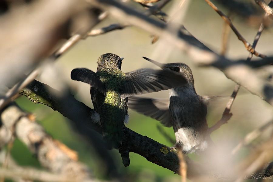 Anna's Hummingbird fledgling 091-5