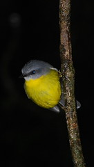 eastern yellow robin (tkmckinn) Tags: birds australia july09