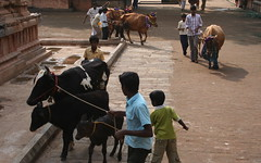 Young Matadors Prepare for Jallikattu