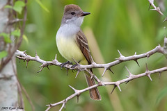 Brown-crested Flycatcher (Myiarchus tyrannulus) (*Ryan Shaw) Tags: mexico december 2009 campeche calakmul browncrestedflycatcher myiarchustyrannulus canoneos50d canonef500mmf4lisusm canonef14xiiextender