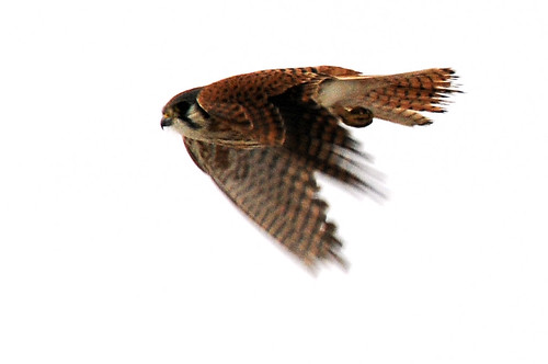 american kestrel dives