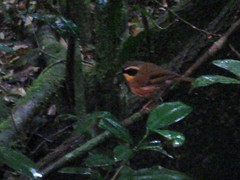 Yellow-throated Scrubwren 10.28.09 video (Chris Conard) Tags: birds video australia yellowthroatedscrubwren scrubwrens