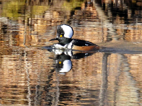 Hooded Merganser Sudbury River three 1 2010