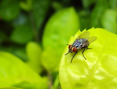 fly (Guillerm'o) Tags: macro green nature garden insect fly sony paraguay