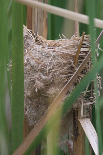 Nest of Australian Reed-warbler