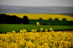 Higher... (CitroenAZU) Tags: france green nature field yellow jaune landscape frankreich groen natuur dal vert gelb frankrijk 55 geel meuse landschap departement rapeseed oilseed colza koolzaad grun