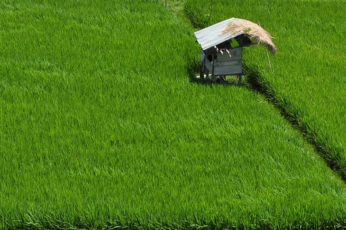 Post image for Project 365 – 002 – Tranquil Rice Paddies