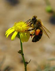 bee (PhotoGrapherQ80 KWS) Tags: macro closeup micro adel abdeen