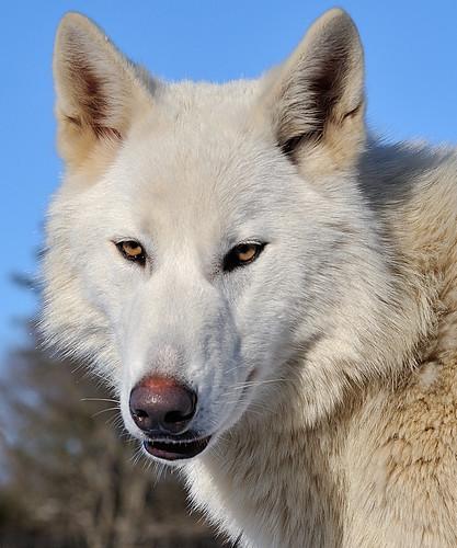 Wolf Hybrid Katore