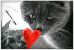 In love...!? (clo dallas) Tags: red cats love canon eos feline heart teo valentine felini gatto cuore gatti inlove valentinesday ohhh auguri sanvalentino innamorato tokina100mm tokina100mmf28atxprod festadisanvalentino 1000d canoneos1000d