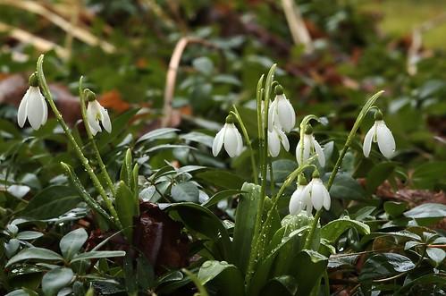 Galanthus nivalis | Sneeuwklokje - Snowdrop