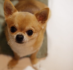Hurry up!  Hurry up! (kanonyobo) Tags: dog chihuahua canon kanon 5dmark2 ef100mmf28lisusmmacro