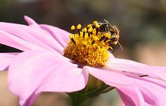 BEE (TARIQ HAMEED SULEMANI) Tags: pakistan macro nature floral gardens closeup canon bee tariq 50d masterphotos 1450mm flowaers concordians sulemani jahanian
