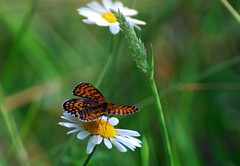 have a nice weekend..-)) (aycasan) Tags: green nature butterfly daisy kelebek papatya doa nikond80 aycasan