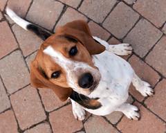 Sitting pretty (Paguma / Darren) Tags: dog hound floyd tamronspaf1750mmf28xrdiiildasphericalif