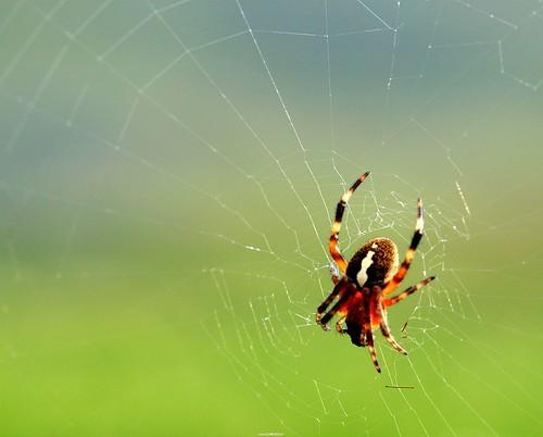 ���� spider