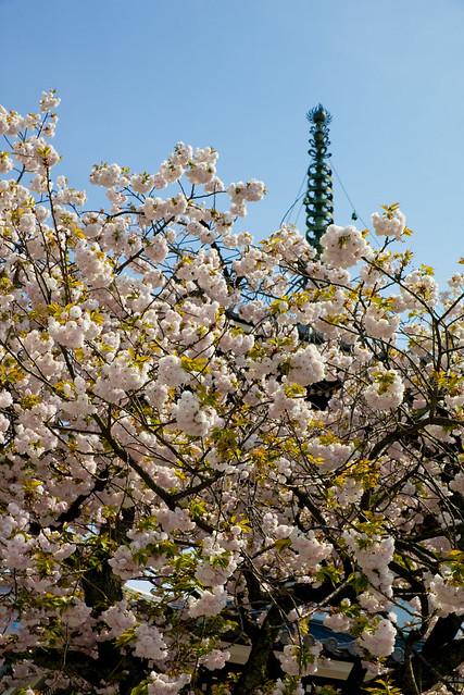 満開の遅咲き桜