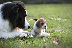 My Protector (Offshore Duck Dogs) Tags: dog cute beagle puppy canine bordercollie cuteness