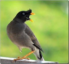 / Jungle Myna (Ramalakshmi Rajan) Tags: birds moving sony