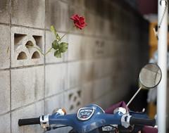 Zushi#11 (tetsuo5) Tags: rose cub pentax zushi 薔薇 逗子 portra400 カブ pentax67ⅱ smcp105mmf24 逗子はひとまず終了 10と同じ場所 一箇所で二度美味しい
