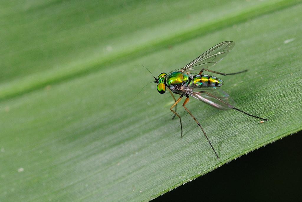 長足虻 Dolichopodidae