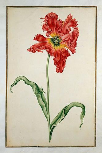 005-tulipan5-Karlsruher Tulpenbuch - Cod. KS Nische C 13- Badische LandesBibliotheK