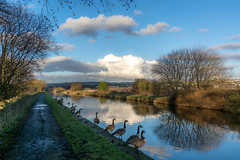 DSC- 0064 - Occasional tourists (SWJuk) Tags: swjuk uk unitedkingdom gb britain england lancashire burnley home canal leedsliverpoolcanal towpath straightmile burnleyembankment water flat calm reflections clouds bluesky geese canadageese 2017 feb2017 winter outdoor waterscape landscape nikon d7100 nikond7100 35mm rawnef lightroom