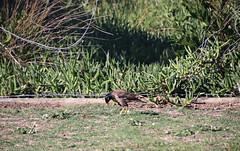 2017 Sydney: Botany Bay #6 (dominotic) Tags: sydney nsw australia newsouthwales 2017 bird botanybay beach brightonlesands ladyrobinsonsbeach
