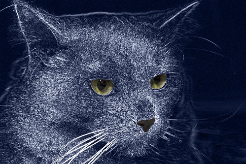 Fluffy electric blue cat -[ HSS ]-