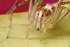 Lynx Spider (Dwi Janto Johan) Tags: macro hongkong nikon d70s micro lantauisland reverselens tungchung lynxspider sb24 sb25 br2a classarachnidaarachnids orderaraneaespiders tamron1750mm subphylumchelicerata suborderopisthothelae phylumarthropodaarthropods notaxonentelegynes genusoxyopes familyoxyopidaelynxspiders speciessalticusstripedlynx infraorderananeomorphaetruespider