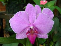 Orquídea 28