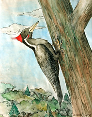 Watercolor Woodpecker (Little Lioness) Tags: bird animal woodpecker ivorybilledwoodpecker wildlifeart littlelioness redcrest sarahbartell artworkwatercolor woodpeckerred wildlifeartworkbirds watercolorwildlifeart indiainkandwatercolor pileatedwoodpeckerart watercolorbirdpictures thelordgodbird