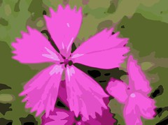 Posterized (CameliaTWU) Tags: flowers trees cactus plants plant flower tree fruit cacti flora europe flickr herbs gothic seed romania pinkflower dianthus shrub shrubs soe fridaythe13th picnik medicinal nativeplants indoorplants inflorescence carpathian childrensday friday13th day317 outdoorplants wwwflickrcom ornamentalplants inflorescences dicotyledons romanianflora dianthustenuifolius