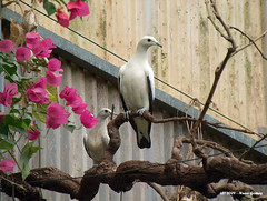 Duas Pombas /  Two Doves (Nuno-Gomes) Tags: life wild two nature animal zoo interesting fantastic bestof shot great best explore greatshot colored gaia doves ohhh duas pombas nunogomes excelent quintadesantoincio travelsofhomerodyssey mygearandme mygearandmepremium mygearandmebronze mygearandmesilver mygearandmegold mygearandmeplatinum mygearandmediamond ngomes
