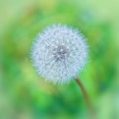 [フリー画像] [植物] [たんぽぽ/タンポポ] [綿毛]        [フリー素材]