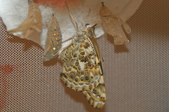 Newly Emerged (c-eight) Tags: butterfly lepidoptera papillon paintedlady