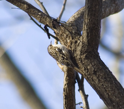 brown creeper_1