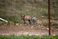 Guarrillos (Beto Hangdog) Tags: travel espaa canon eos spain huelva andalucia viajes leon cerdo aracena iberico arroyomolinos milde 1000d arroyomolinosdeleon