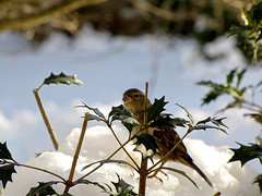 Sparrow on the Snow (patkashtock) Tags: trees winter white snow birds forest point woods backyard worship power tail birdfeeder free jungle backgrounds 43 ratio patkashtock patriciahammellkashtock pattykashtock