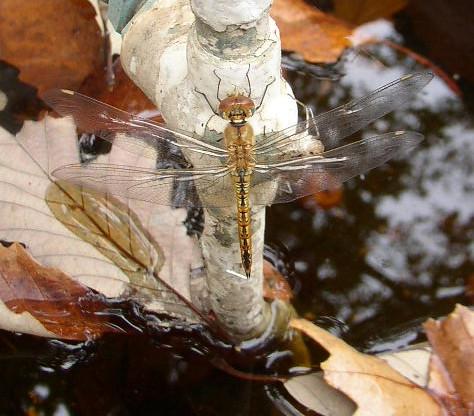 Strange_sleep_dragonfly