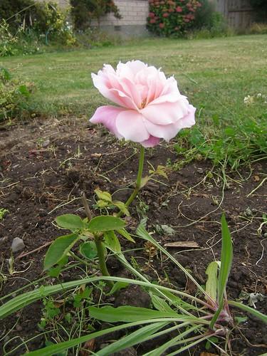 Kaye's rose