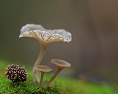 """ Arrhenia rikenii "" (carlespoveda) Tags: macro mushroom natura fungus gastronomia otoo funghi seta hongo micologia miceti naturalezaa arrheniarikenii leptoglossumrickenii"