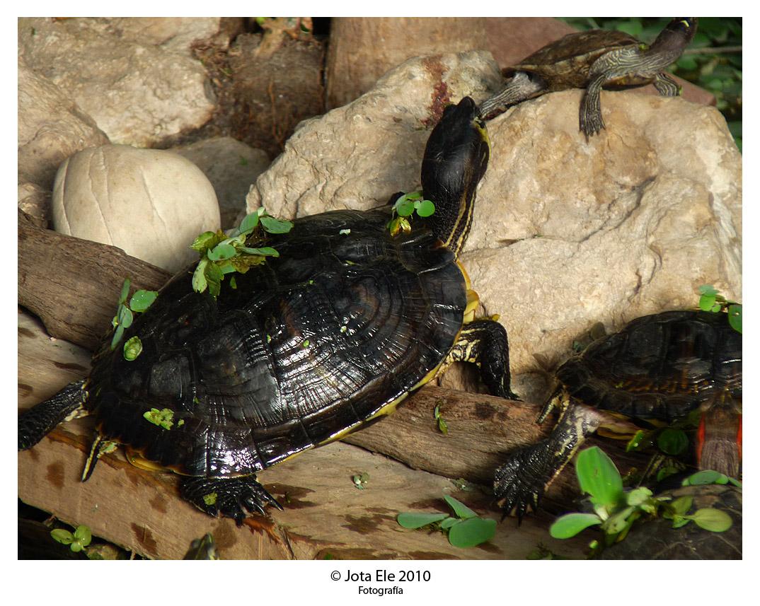 Tortugas IV