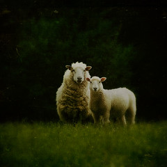 Family likeness... (borealnz) Tags: newzealand two texture wool field grass animal rural square sheep farm nz lamb otago baa farmanimal woolly paddock ewe bsquare southotago thelittledoglaughed perendale flypapertextures borealnz