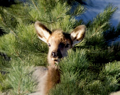 A baby elk peeks out from behind a pine sapling to see what the herd is doing and where mama is.